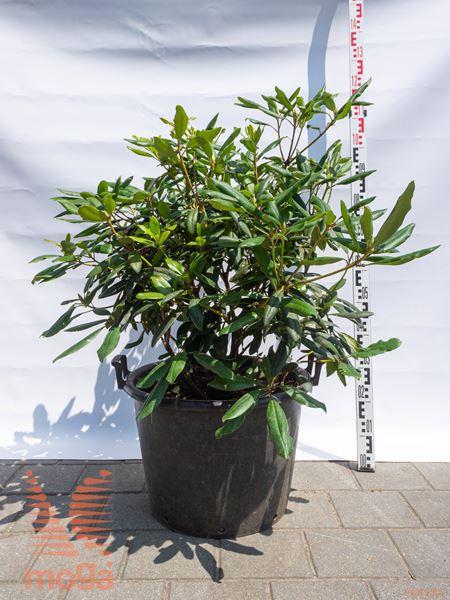 "rododendron ""Marcel Menard"""