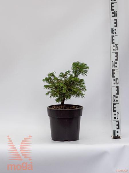 "Abies lasiocarpa ""Green Globe"" |15-20|C4"