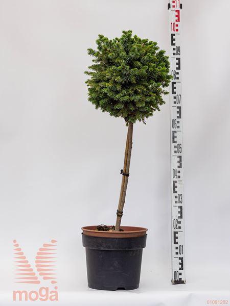 "Picea sitchensis ""Wiesje"" |1/2 deblo|FI:20-30|C5"