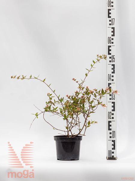 Abelia grandiflora |20-30|P15
