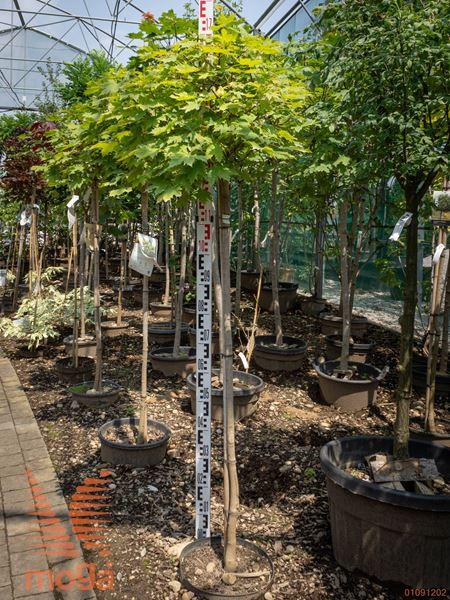 """Acer platanoides """"Globosum""""  8/10 1/2 deblo C10"""