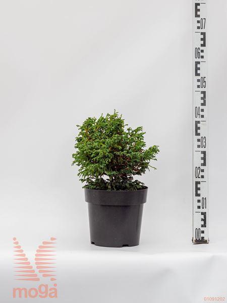 "Chamaecyparis obtusa ""Birgit""  20-30 P19"
