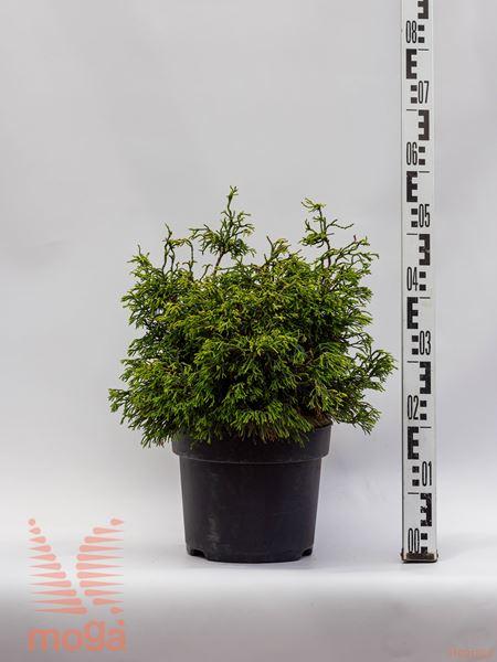 "Chamaecyparis obtusa ""Tsatsumi Gold"" |40-60|P26"
