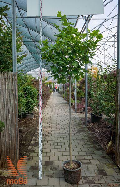 """Liriodendron tulipifera """"Edward Gursztyn""""  8/10 3/4 deblo C20"""