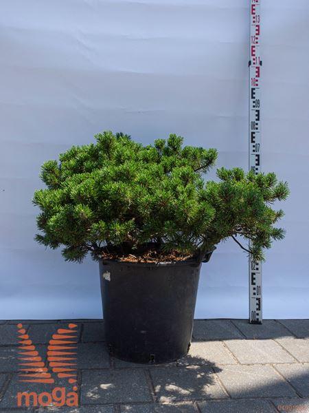 "Pinus mugo ""Klostergrün"" |60-80|FI:80-100|C"