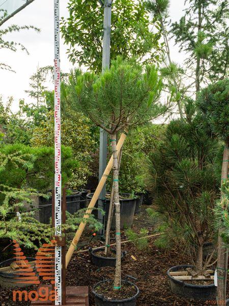 Pinus pinea  12/14 3/4 deblo C