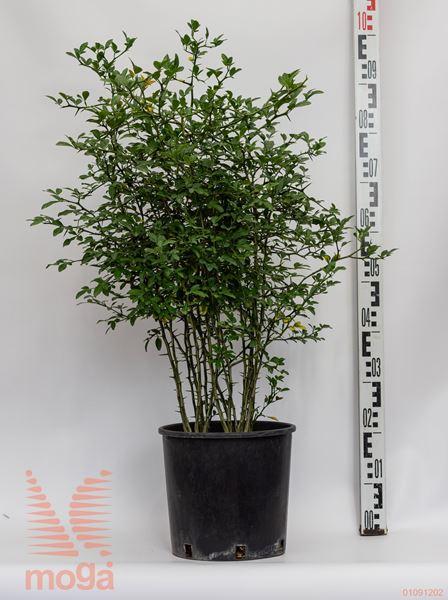 Poncirus trifoliata |40-60|C10