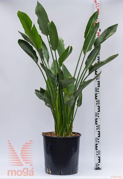 Strelitzia reginae  100-125 C