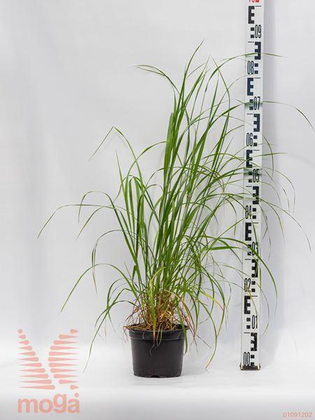 Calamagrostis brachytricha |P17