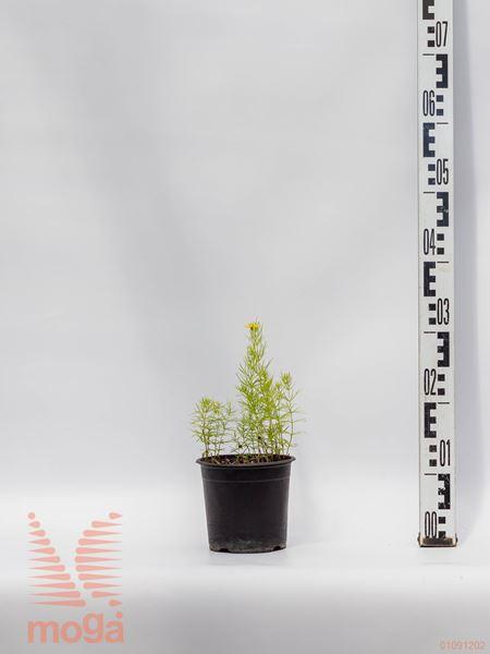 """Coreopsis rosea """"American Dream""""  P14"""