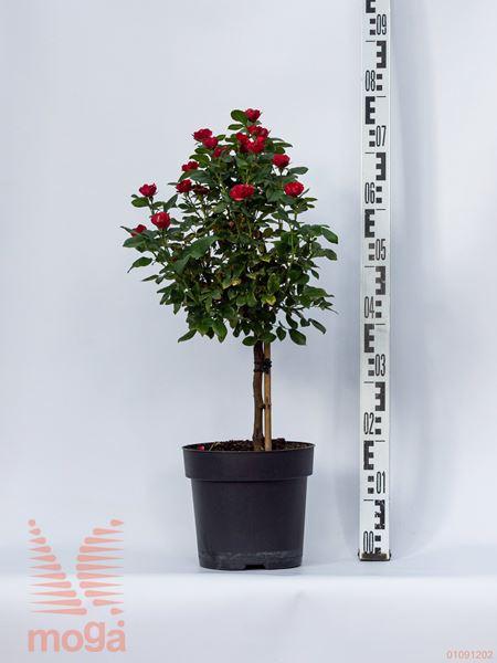 "Rosa ""Zepeti"" ® |1/4 deblo|C6"