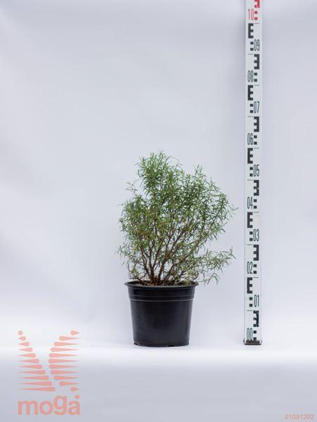 Rosmarinus officinalis |P23