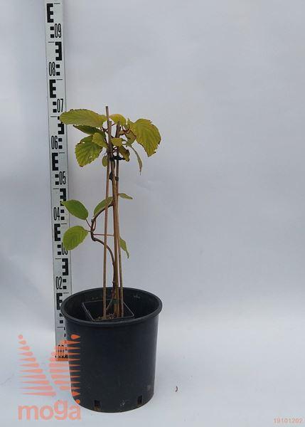 "Actinidia chinensis ""Jenny""  60-80 C2,5"