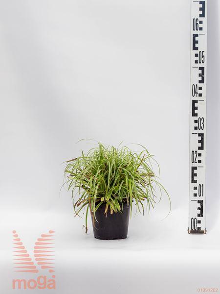 "Carex morrowii ""Silver Sceptre"" |P14"