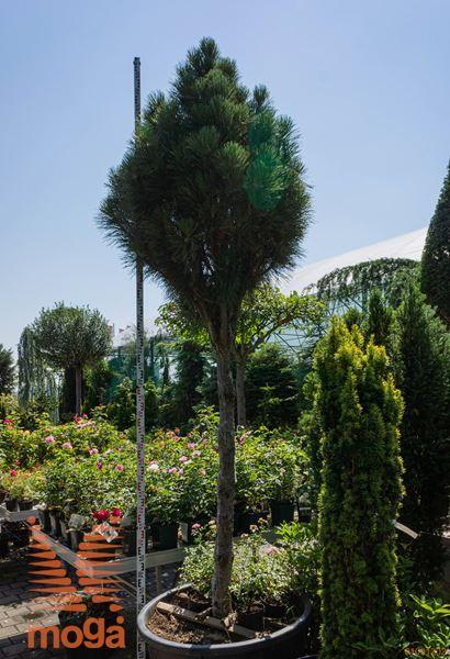 """Pinus nigra """"Sinfonia""""  300-350 30/35 1/2 deblo C"""