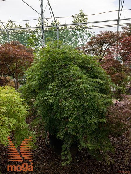 """Acer palmatum """"Emerald Lace""""  150-175 20/25 1/2 deblo FI:200-250 C"""