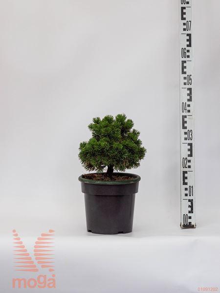 "Pinus mugo ""Picobello""  20-30 FI:20-30 extra C3,5"