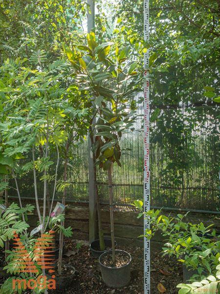 """Magnolia grandiflora """"Gallisoniensis""""  1/2 deblo C18"""