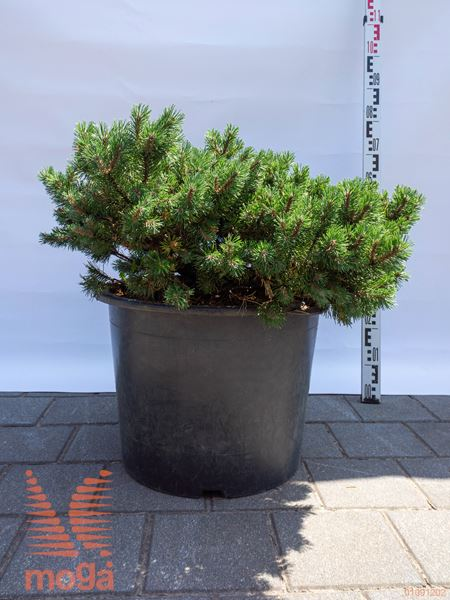 "Pinus mugo ""Klostergrün"" |60-80|extra|C"