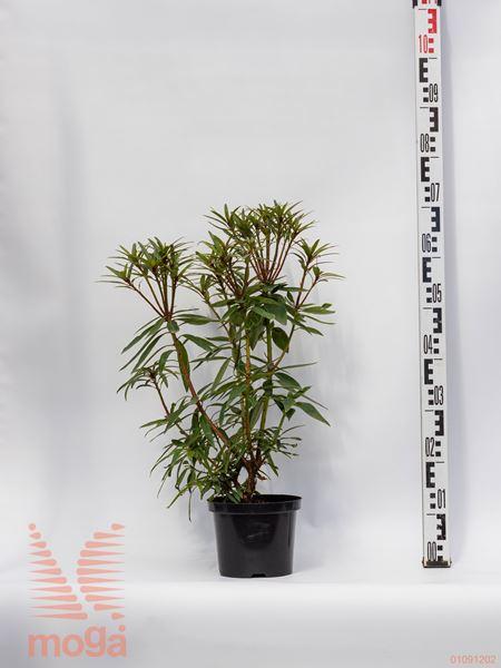 """Rhododendron """"Graziella""""  20-30 C"""