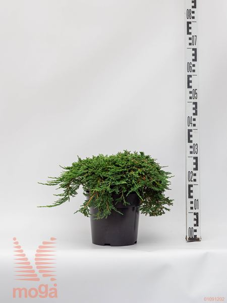 "Juniperus horizontalis ""Pancake""  FI:30-40 C5"