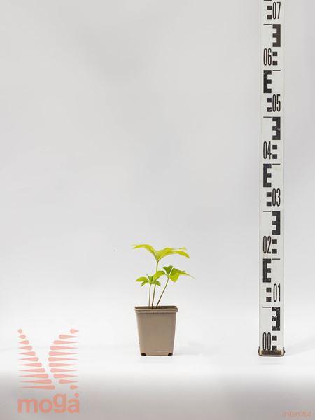 "Helleborus orientalis ""Ballard hybrids"" |P9"