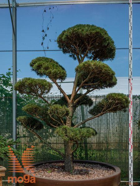 "Pinus sylvestris ""Norske Typ"" |200-250|bonsai - oblika|C/JUMBO800"
