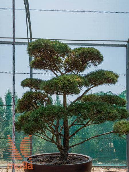 "Pinus sylvestris ""Norske Typ"" |200-250|bonsai - oblika|extra|C/JUMBO800"