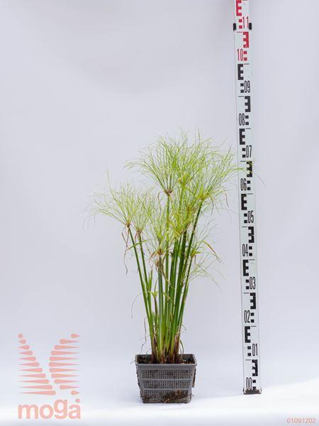 Cyperus percamenthus |P18