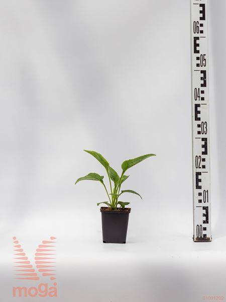 "Echinacea purpurea ""White Swan"" |P9"