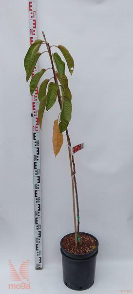 "Prunus avium ""Lapins"" |100-150|GISELA5|večletna sadika|C"