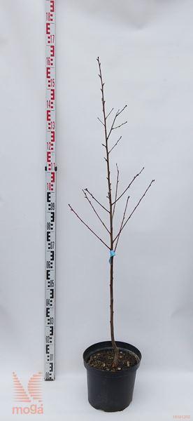 """Prunus persica """"Kernechter vom Vorgebirge""""  100-150 večletna sadika C"""